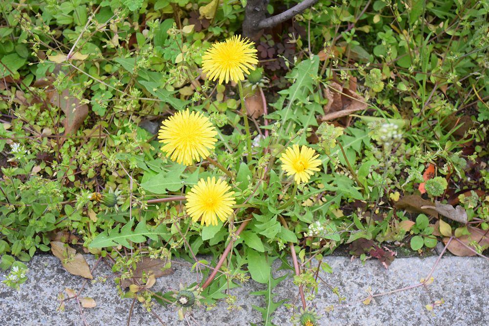 外来植物、西洋タンポポ