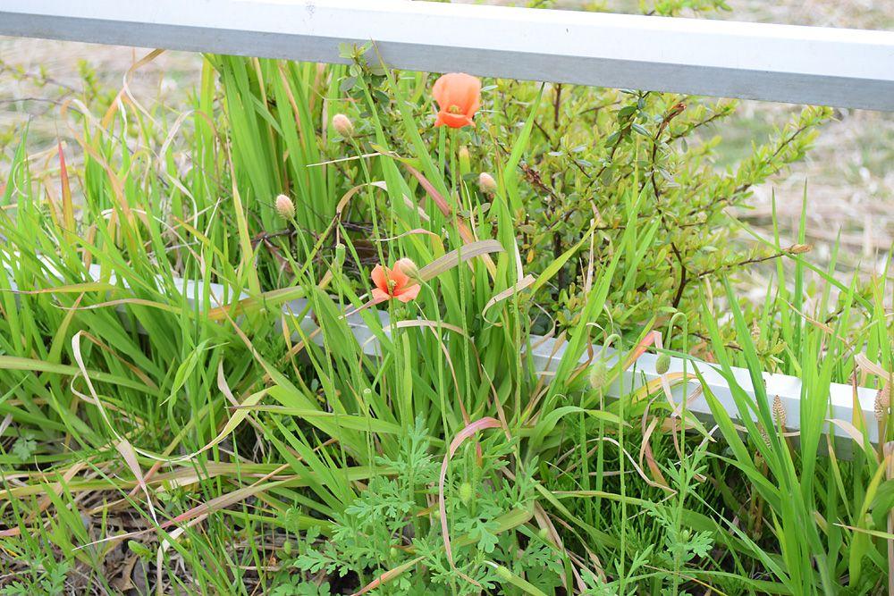 こいつが日本の植物を駆逐する?