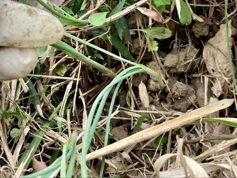 ユリ根科ネギ属の多年草