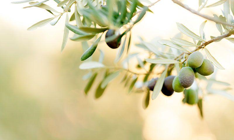 太陽の恵みいっぱい!宮崎日南発「海岸オリーブオイル」の注目される理由