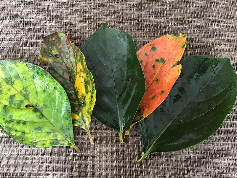 色々な色の柿の葉